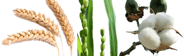 Wheat, Rice and Cotton plants